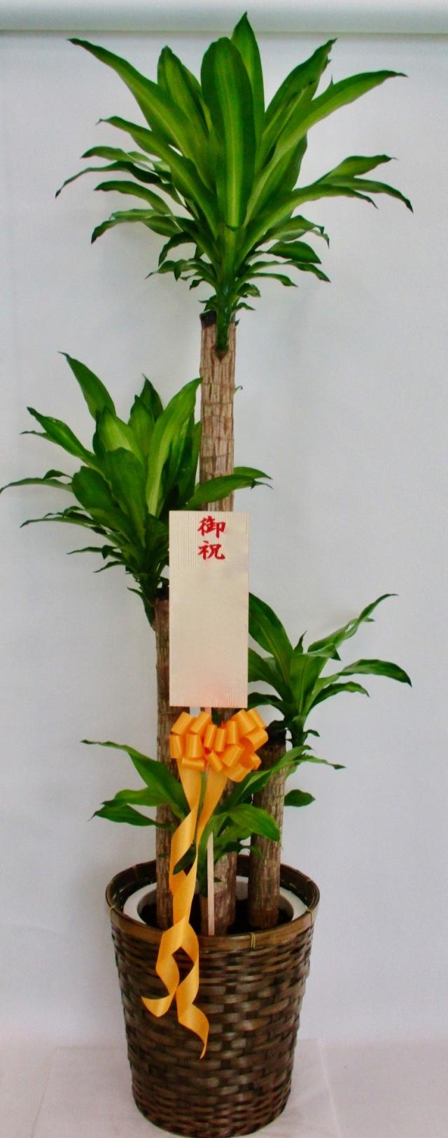 観葉植物1.5万円コース(インテリア鉢カバー付き)