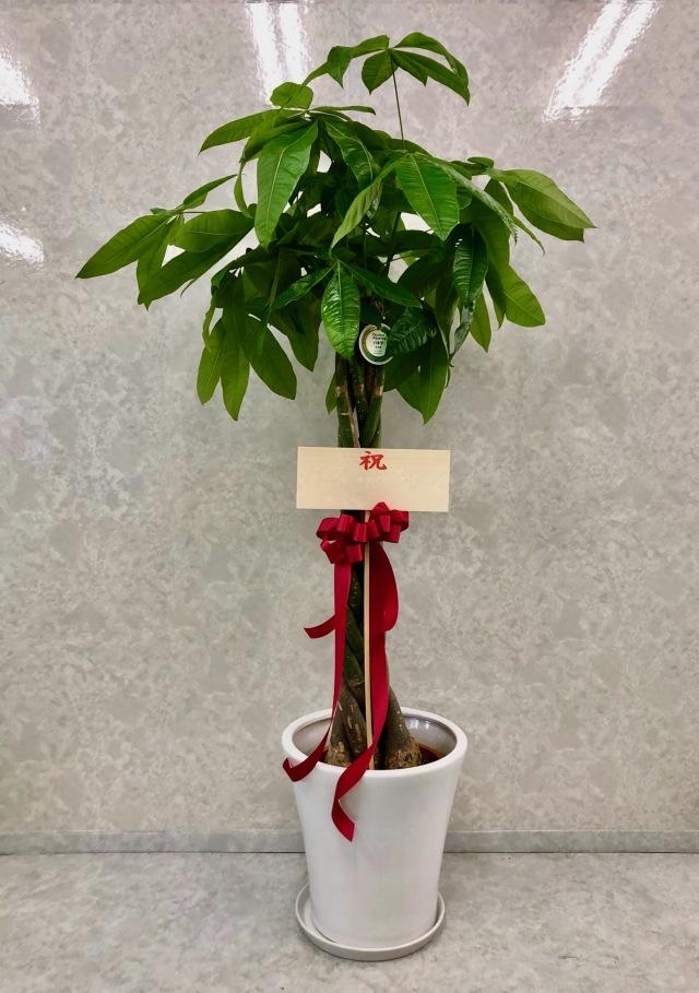 観葉植物2.5万円コース(高級陶器鉢付き)