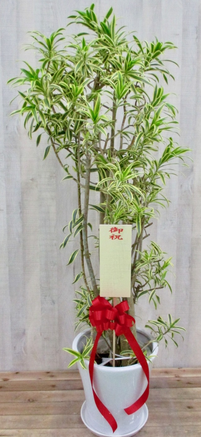 観葉植物3万円コース(高級陶器鉢付き)
