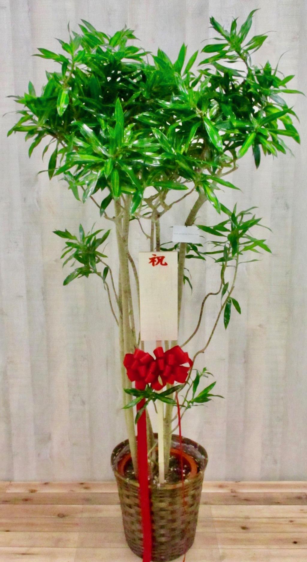 観葉植物1.8万円コース(インテリア鉢カバー付き)