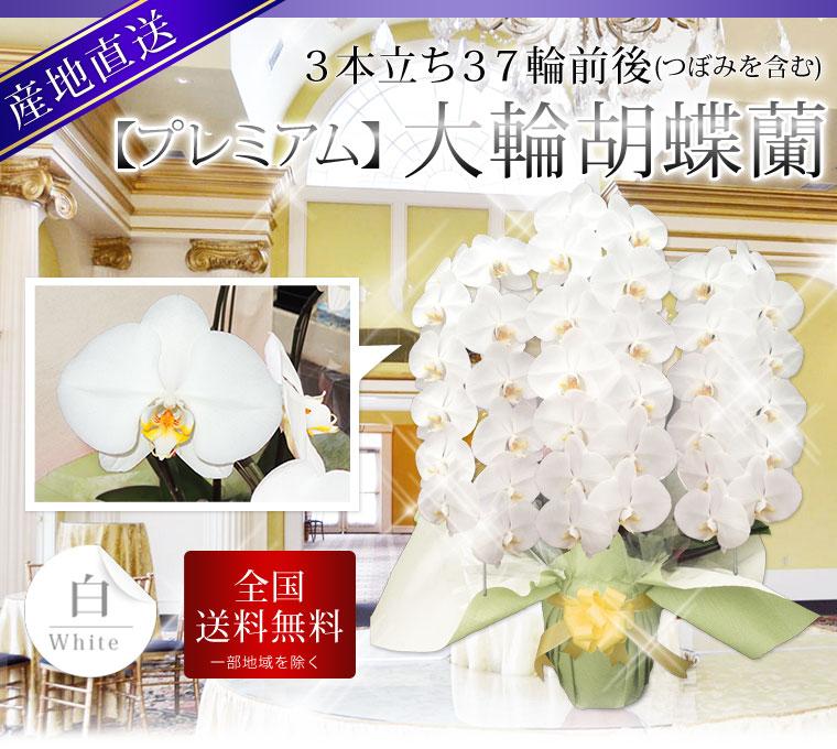【プレミアム】大輪胡蝶蘭 3本立ち 37輪前後 白