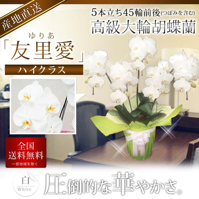 【ハイクラス】高級大輪胡蝶蘭 「友里愛」 5本立ち 45輪前後 白