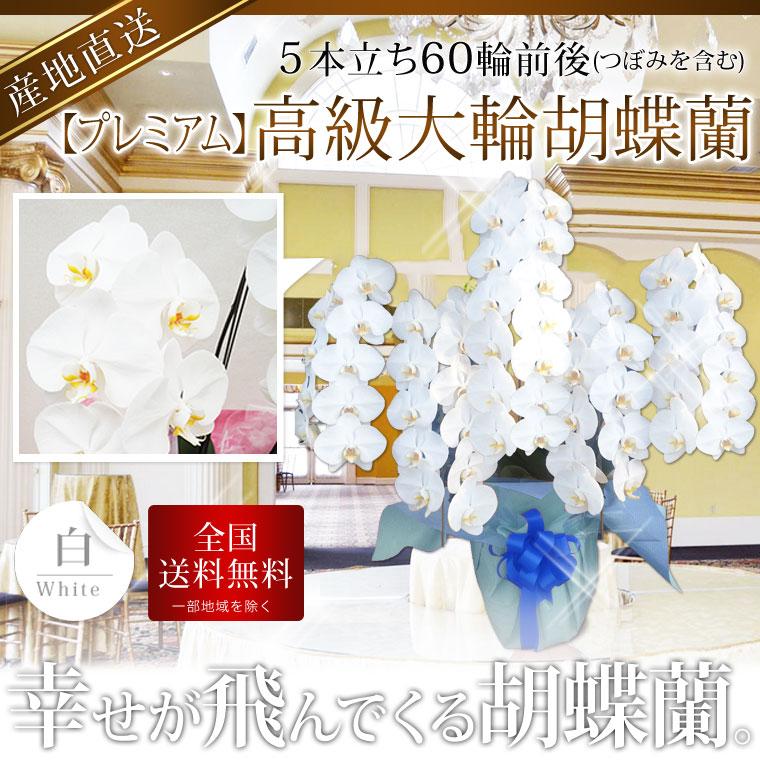 【プレミアム】高級大輪胡蝶蘭 5本立ち 60輪前後 白