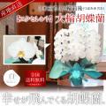 【エクセレント】大輪胡蝶蘭 3本立ち 32輪前後 白