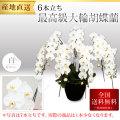 【プレミアム】最高級大輪胡蝶蘭 6本立ち 白