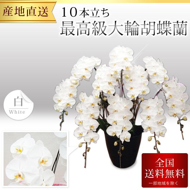 【プレミアム】 最高級大輪胡蝶蘭 10本立ち 白