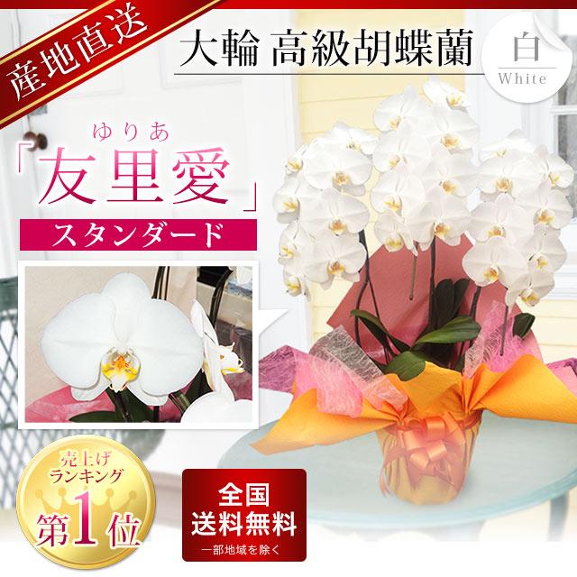 【スタンダード】大輪胡蝶蘭 「友里愛」 3本立ち 白