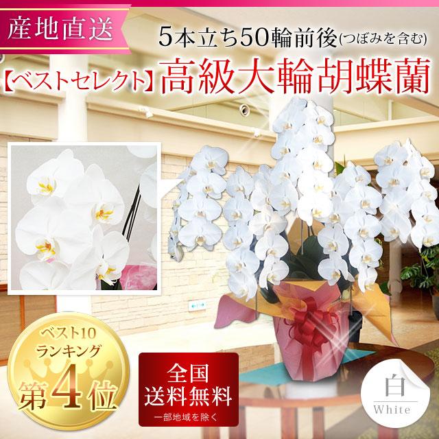 【ベストセレクト】 高級大輪胡蝶蘭 5本立ち 50輪前後 白