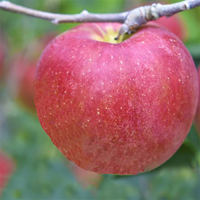 【フルーツ王国信州 オリジナル品種】 長野県産りんご シナノスイート