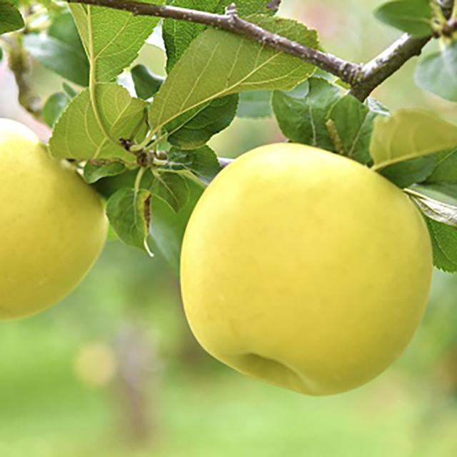 【フルーツ王国信州 オリジナル品種】 長野県産りんご シナノゴールド