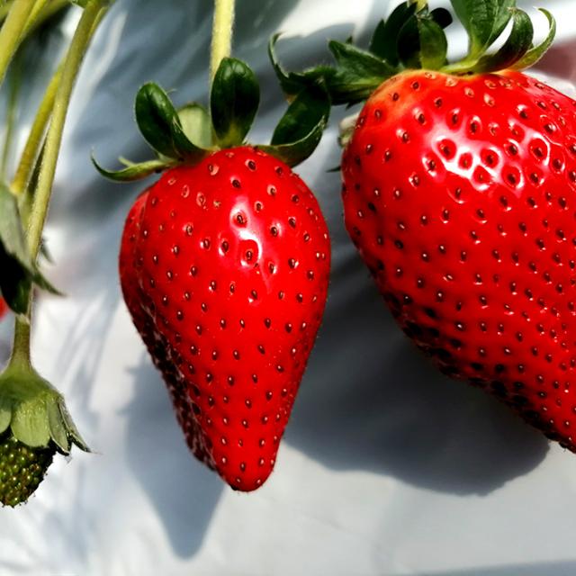 奈良県産 ブランド苺4種食べ比べセット