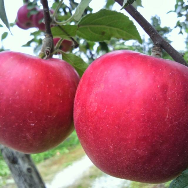 りんご画像2
