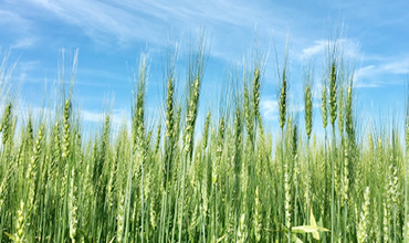 無農薬栽培の麦