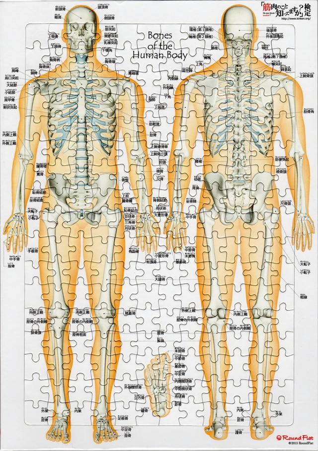【解剖学ジグソー】全身の骨