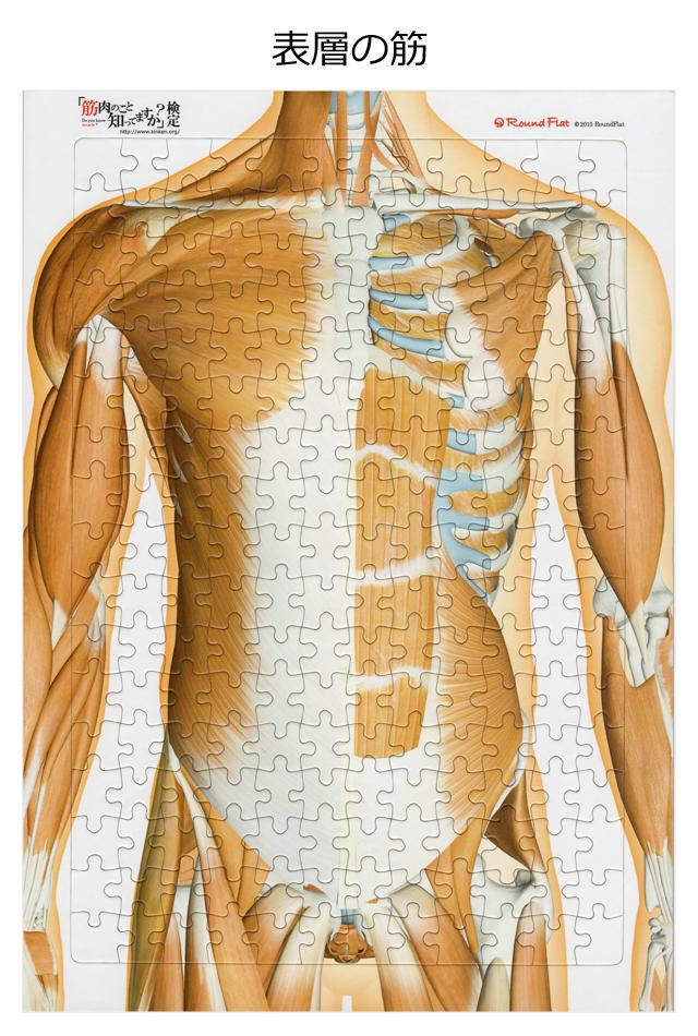【アウトレット特価】体幹の筋(表層)【解剖学ジグソー】