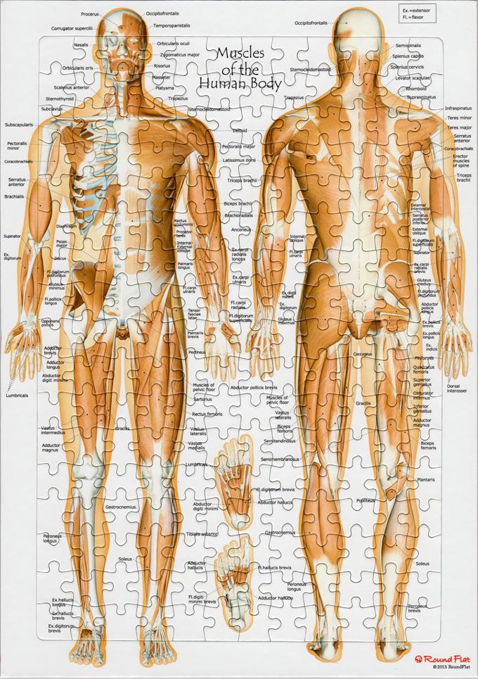 【アウトレット特価】全身の筋・英語版【解剖学ジグソー】