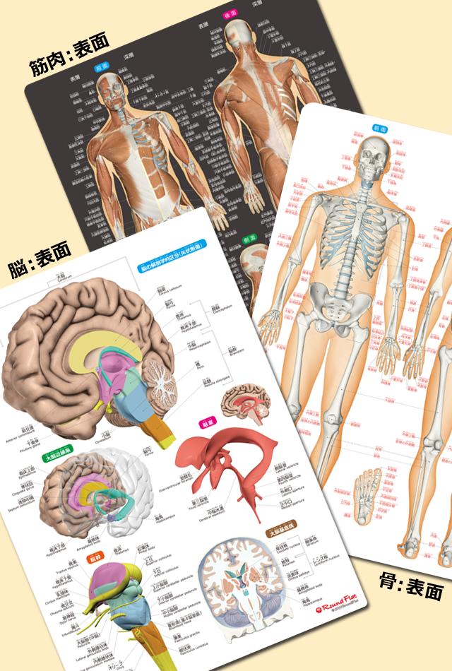 【グッズ】筋肉&骨と関節&脳 人体まるわかりシート3枚セット《お得な10%OFF》