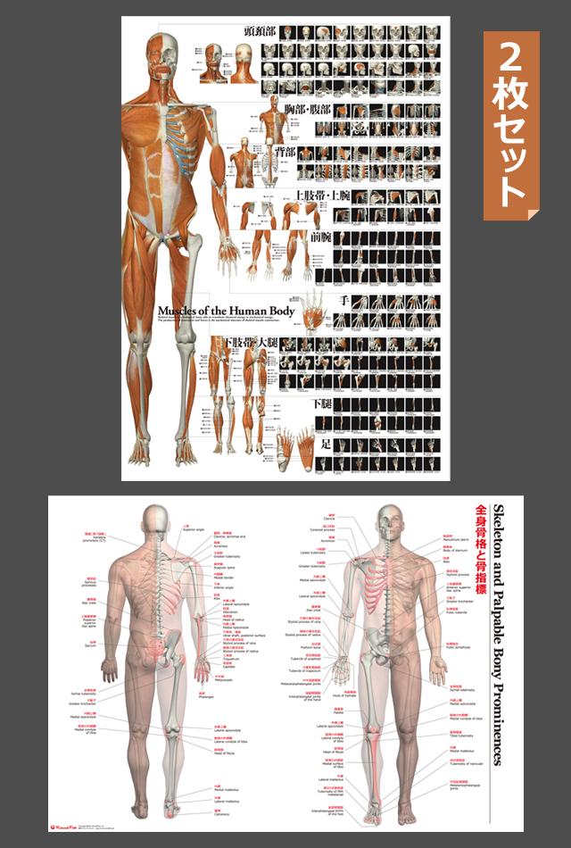【グッズ】全身の骨格筋と骨指標2枚セット【特大ポスター・パネル入り】