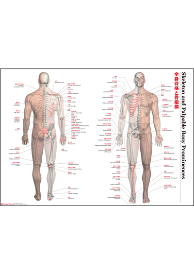 【アウトレット特価】全身骨格と骨指標特大A1ポスター【注:A4サイズ折り】