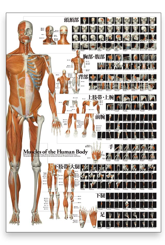 【アウトレット特価】全身の骨格筋特大A1ポスター【注:A4サイズ折り】