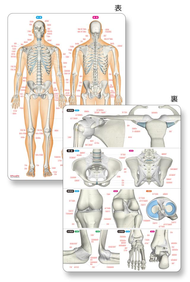 【アウトレット特価】骨と関節まるわかりシート【プラスチック下敷き】