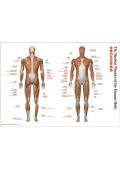 【ポスター】「全身の主な骨格筋」(The Skeletal Muscles of the Human Body)