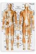 【解剖学ジグソー】全身の筋
