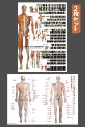 【アウトレット特価】全身の骨格筋と骨指標2枚セット【特大ポスター・パネル入り】