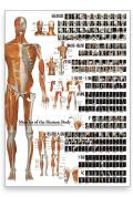 【特大ポスター】全身の骨格筋【全162の筋肉を紹介 縦84.1cm×横59.4cm】