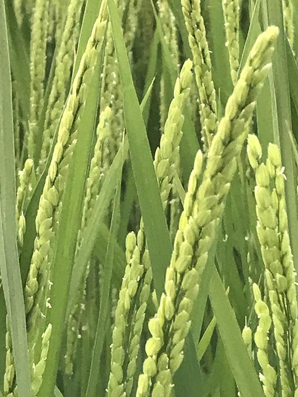 ミルキークイーン稲の花