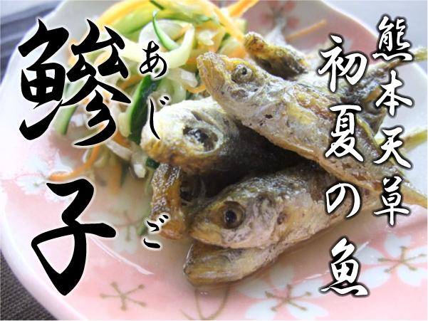 天草に初夏の訪れを告げる魚!鯵子!