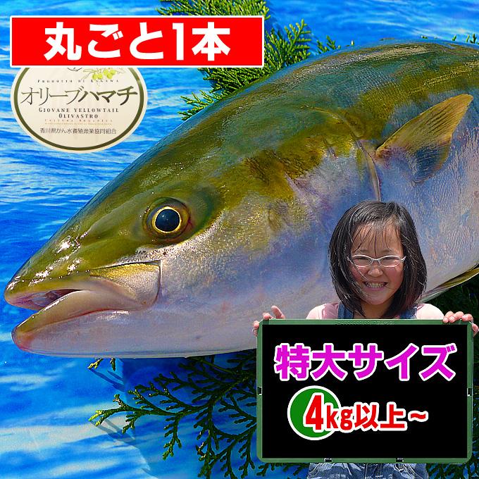 香川県産 オリーブハマチの値段/販売/通販/鮮魚店