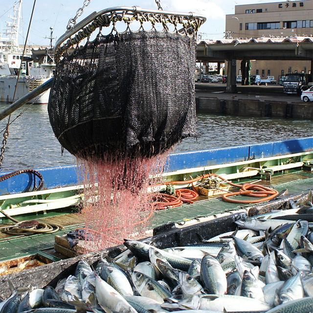 銚子水揚げ鯖