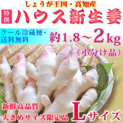 【甘酢漬け用】ハウス新生姜(しょうが)・特選(A品)・Lサイズ・約1.8〜2kg【クール便】