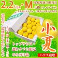 土佐小夏(高知県産)・家庭用兼ご贈答用(上物・ハイクラス)・小箱(約2.2kg)・Mサイズ