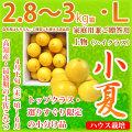 土佐小夏(高知県産)・家庭用兼ご贈答用(上物・ハイクラス)・中箱(約2.8〜3kg)・Lサイズ