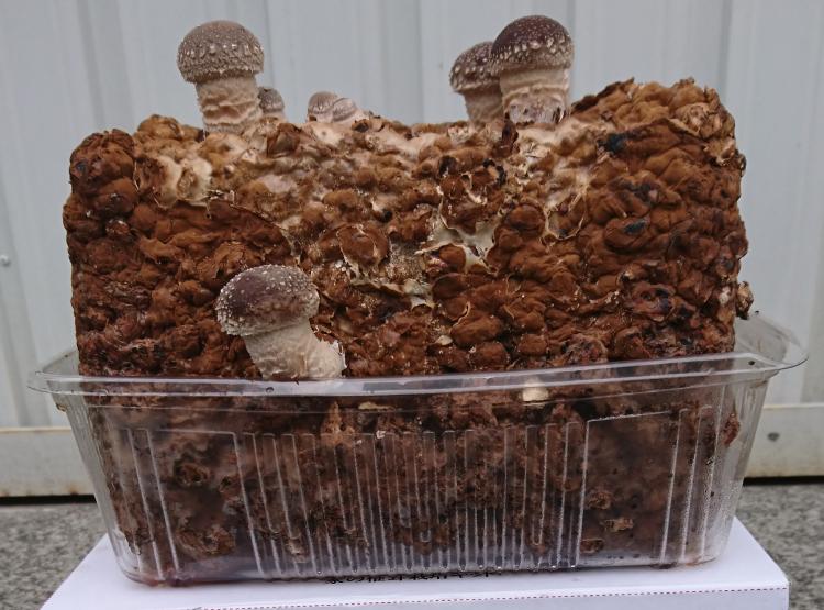 【徳島県産】 椎茸栽培キット 家の椎茸(うちのしいたけ)【産地直送・同梱不可】