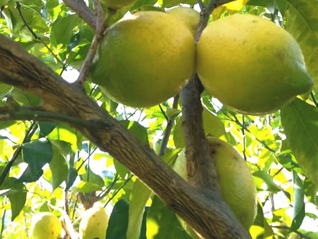 【限定品】 「めぐみファームのレモン」 ~テネモス理論・自然の法則を利用して栽培された和歌山県産のレモン~