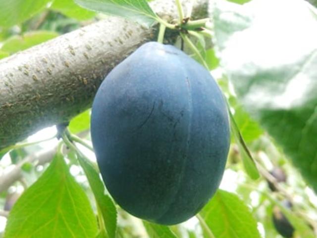 【期間限定販売】 「生プルーン (2kg)」 ~めぐる・自然の法則を応用して栽培された信州小布施産プルーン~