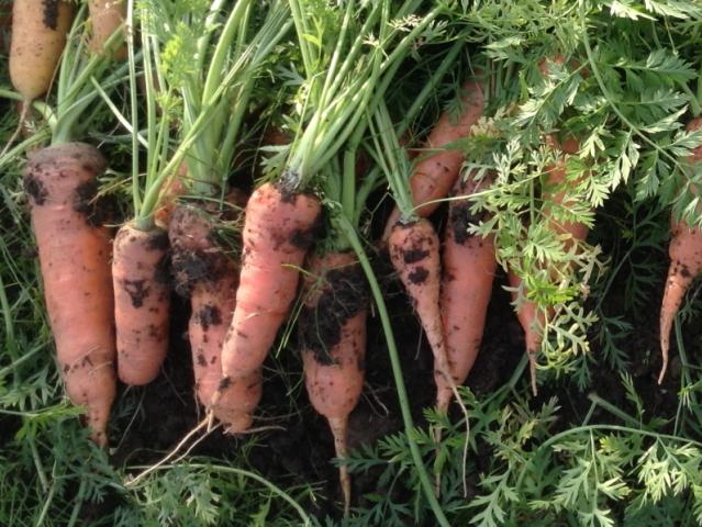 「Sibaenn.(さいばえん) 人参 (ニンジン)」 【毎週水曜日と土曜日に農園より発送】 ~テネモス理論・自然の法則を応用して栽培された信州産の野菜~