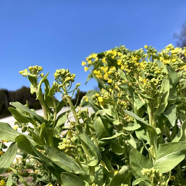 春の恵みをまるごと食べる【菜の花セット】色々な種類の菜の花をお届け