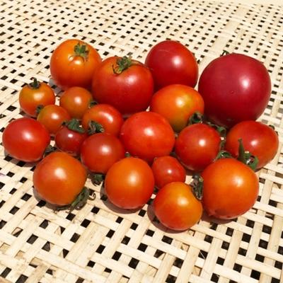 【好評につき完売】 夏野菜の王様「トマト」500gセット