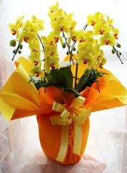 胡蝶蘭 黄色
