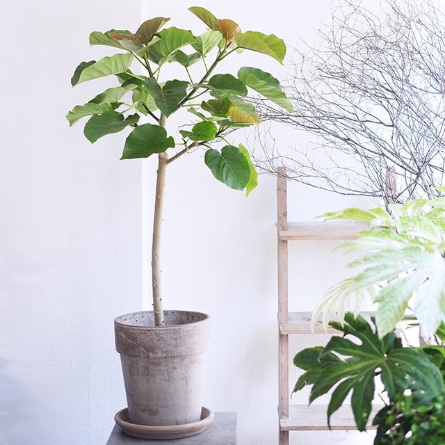 御祝いの観葉植物