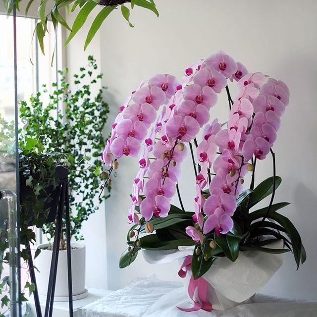 お祝いの胡蝶蘭5本立ち ピンク