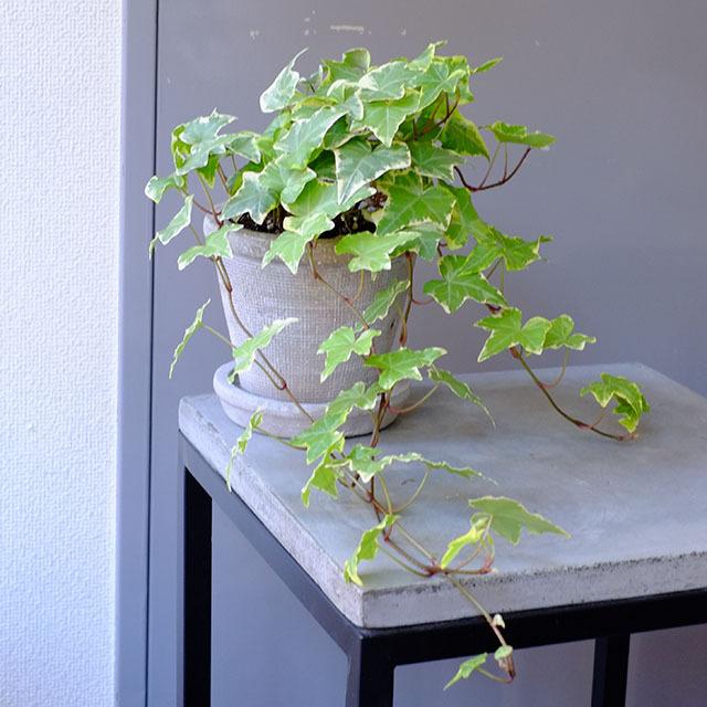 アイビーの鉢植え