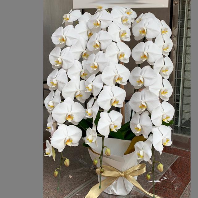 胡蝶蘭3本立ホワイト
