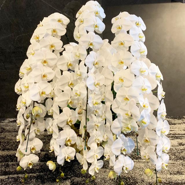 胡蝶蘭8本立ホワイト