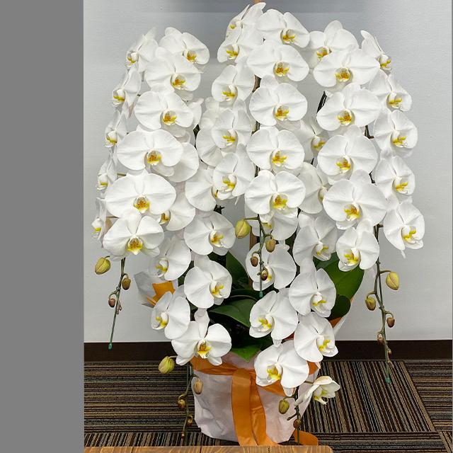 胡蝶蘭5本立ホワイト
