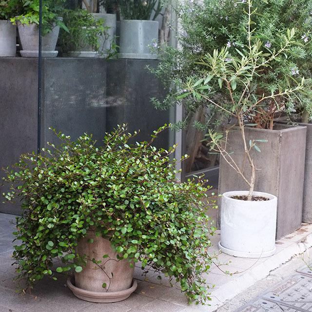 ワイヤープランツの鉢植え